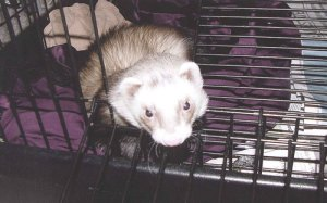 ferret-in-cage-1210-bg
